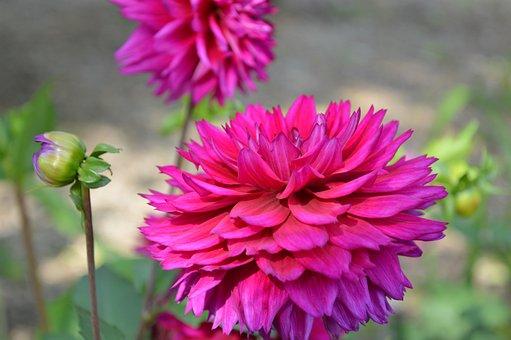 Dahlias, Dahlia, Coreopsideae, Flowers, Bloom