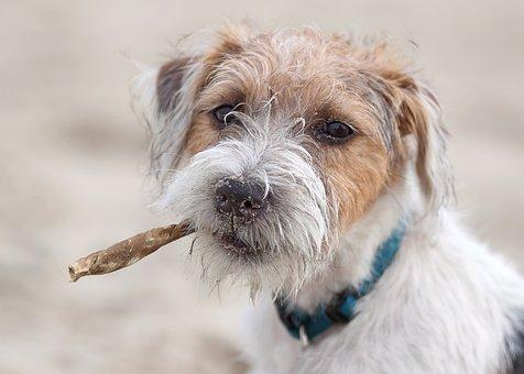 Dog, Terrier, Parson, Russel, Jack Russel, Nature