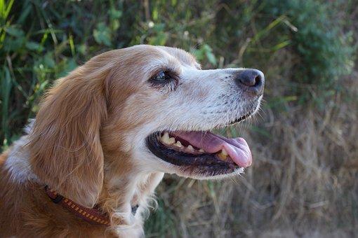 Dog Head, Breton, Pointing Dog, Epagneul, Spaniel, Dog
