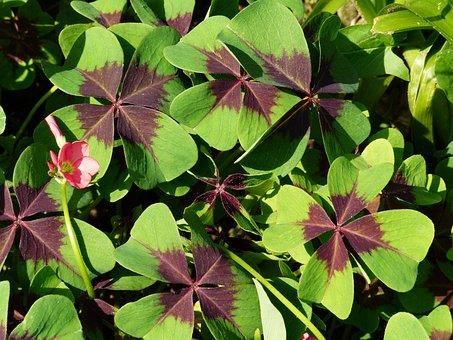 Clover, Plant, Grass, Nature, Sheet, Bloom, Flower