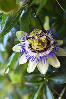 Passion Flower, Passiflora Caerulea, Flower, Passiflora