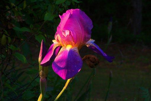 Purple Ozark Iris, Iris, Flower, Bloom, Blossom, Spring