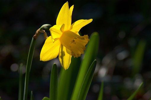 Ozark Backlit Daffodil, Garden, Bloom, Plant, Flowers