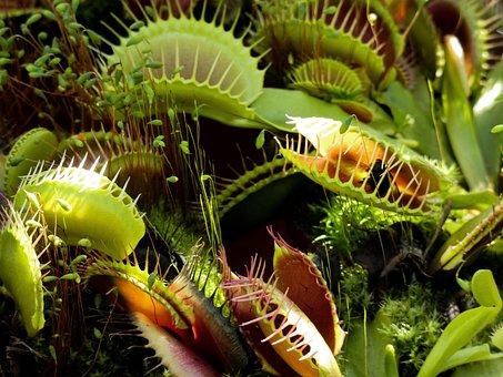 Venus Fly Trap, Fly Trap, Fly, Trap, Plant