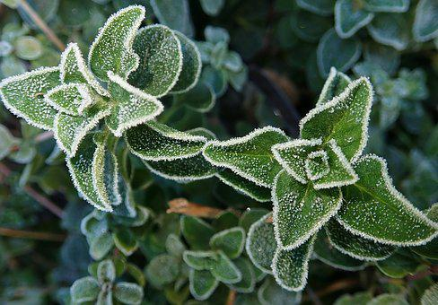 Herb, Oregano, Frosty, Winter, Food, Cooking