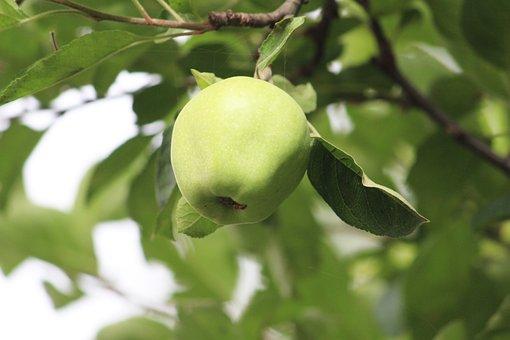 Green Apple, Himalayan Apple, Apple On Tree