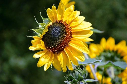 Sunflower, Flower, Helianthus, Yellow, Blossom, Bloom