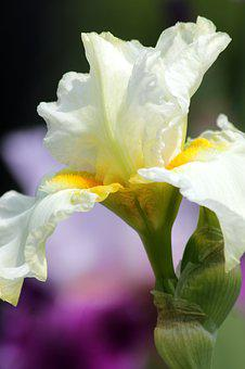 Iris, Flower, Beautiful, Nature, Garden, Bloom, Bright