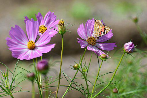 Natural, Landscape, Plant, Flowers, Cosmos, Pink