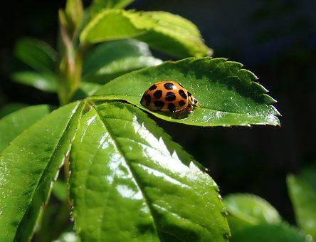 Ladybird, Insect, Leaves, Garden, Nature