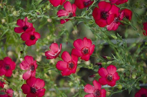 Red Flax, Flax Flower, Flowers, Len, Len Grandiflora