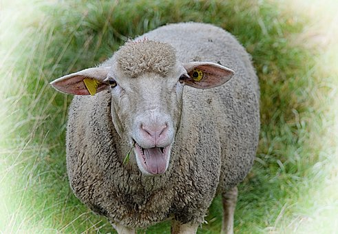 Sheep, Animal, Gripe, Meadow, Wool, Graze, Nature