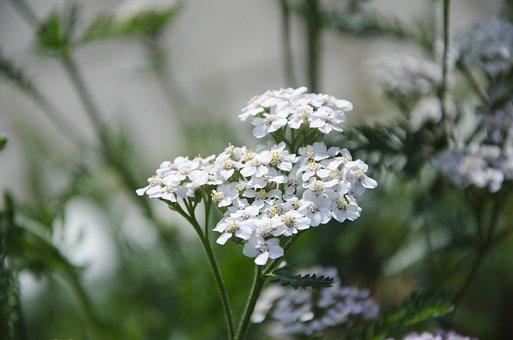 Yarrow Plant, Yarrow, Medicine Herb