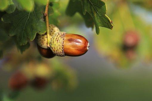 Nature, Acorns, Oak, Foliage, In The Fall, Brown