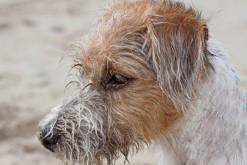 Dog, Terrier, Parson, Russel, Jack Russel, Nature
