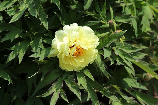Peony, Flowers, Tree Peony, Bright, Yellow, Bloom