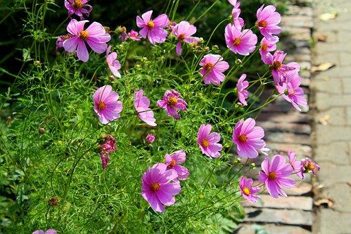 Kosmosy, Flowers, Violet, September, Plants, Nature