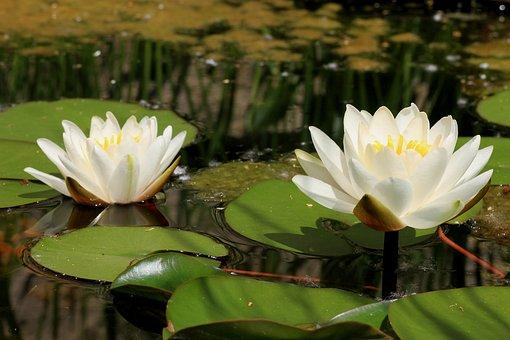 Lotus, Aquatic Plant, Lotus Flower, Pond, Flowers