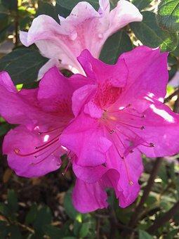 Flower, Pink, Purple, Bloom