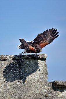 Harris Hawk, Raptor, Falconry, Bird, Flying