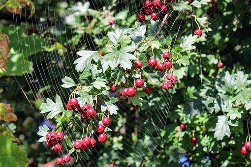 Hawthorn, Meidoorn Bessen, Berry, Red, Spider Web