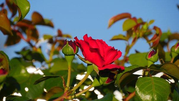 Rose, Flower, Rose Red