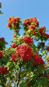 Autumn, Rowan, Tree, Leaves, Nature, September
