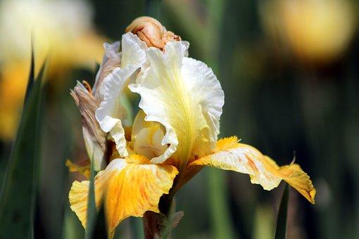 Iris, Flower, Spring Flower, Beautiful, Nature