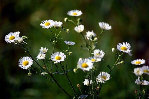 Daisy, Plant, Nature, Blossom, Bloom, Autumn, Summer