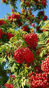 Autumn, Rowan, Nature, September, Sheet, Leaves, Tree