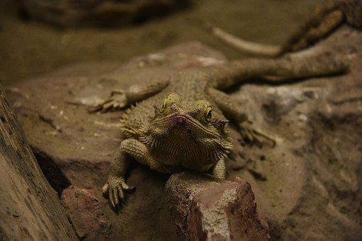 Iguana, Reptile, Lizard, Animal, Exotic, Tropical, Zoo