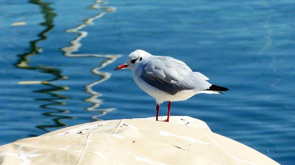 Seagull, Lake, Bird, Pen, Plumage, Waterfowl