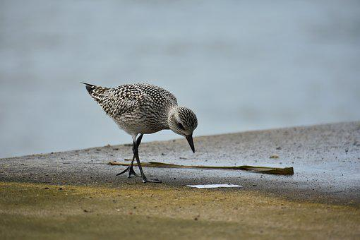 Animal, Sea, Bird, Wild Birds, 旅鳥