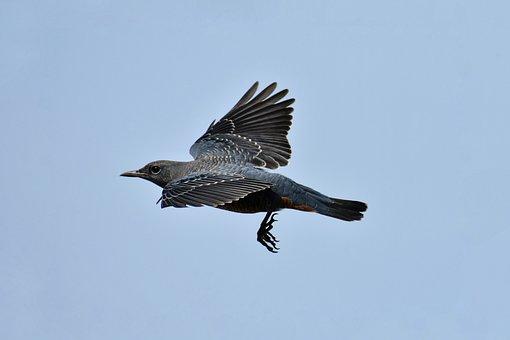 Animal, Sky, Bird, Wild Birds, Method Bulbul, Feathers