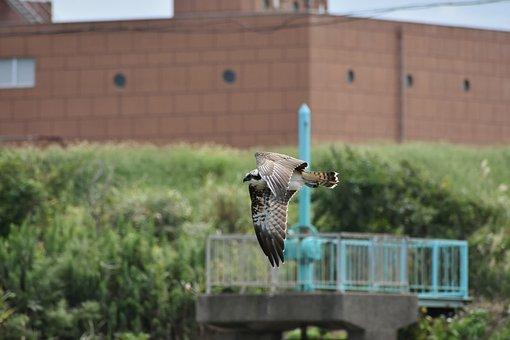 Animal, River, Grass, Bird, Wild Birds, Raptor, Osprey