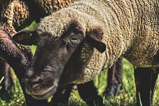 Sheep, Animal, Curious, Meadow, Wool, Graze, Nature