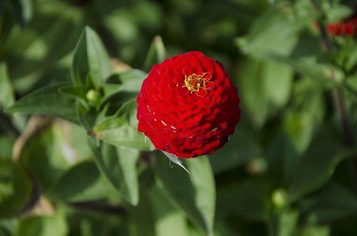 Zinnia, Red Flower, Summer, Garden