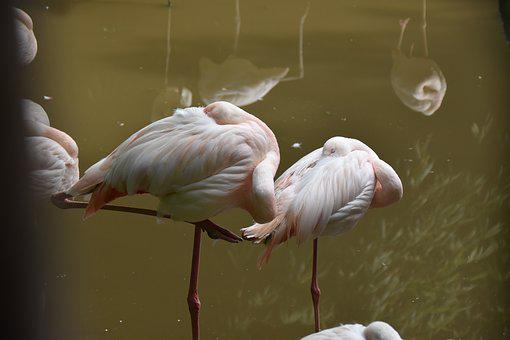 Flamingos Pink, Flemish, Pink, Animal, Feathers, Bird