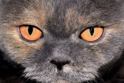 Cat, Close Up, Head, Animal, Pet, Eyes, Orange, Face