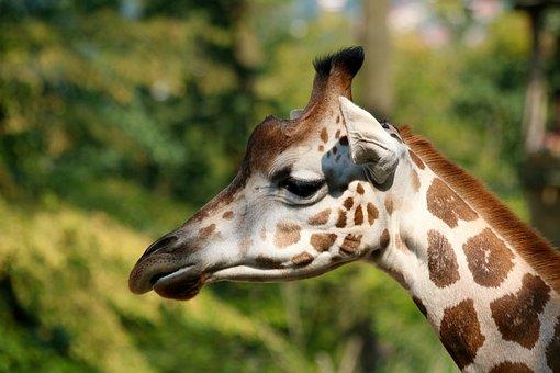 Giraffe, Animal, Head, Profile, Mammal, Neck, Herbivore