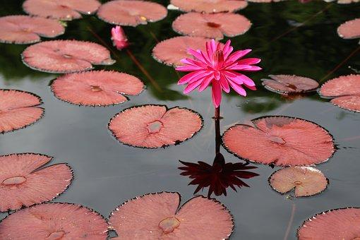 Lotus, Kite, Water Lilies, Buddhism, Aquatic Plants