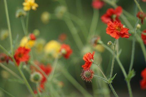 Poppy, Buttercup, Bokeh, Decorative, Background, Summer
