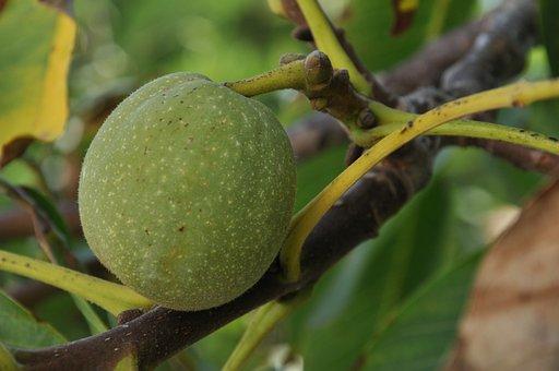 Walnuts, Basilicata, Researches, Scanzano Jonico