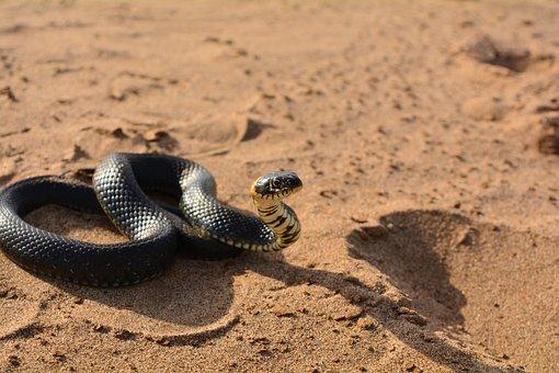 Snake, Sand, Reptile, Beach, Animals