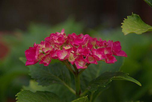 Hydrangea, Church Flower, Beautiful