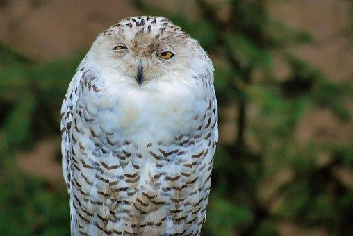 Snowy Owl, Bird Of Prey, Animal World, Nature