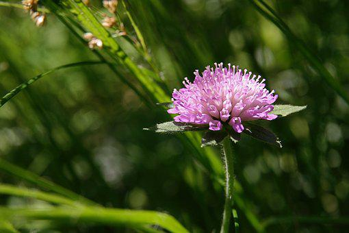 Meadow, Pointed Flower, Pink, Blossom, Bloom, Bloom