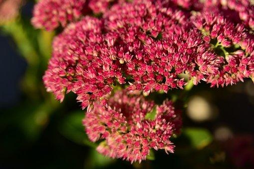Fat Hen, Blossom, Bloom, Close Up, Nature, Macro