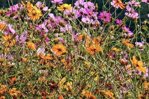 Flowers, Cosmea, Cosmos, Garden, Blossom, Bloom, Pink