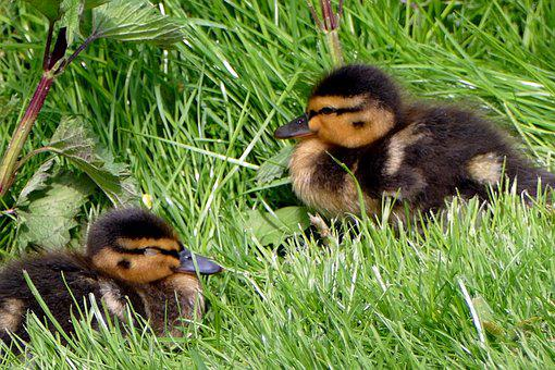 Chicks, Ducks, Cute, Ducklings, Water Bird